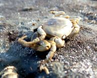 13 Blackrock Beach Crab CloseUp