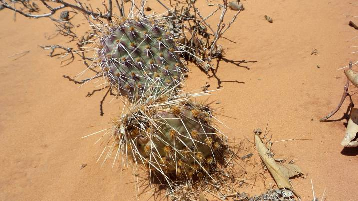 22 Cacti at Arches National Park Hike to Tower Arch