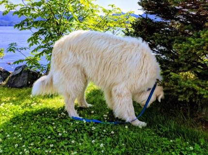 24 Flying Over Sitka Alaska Dog