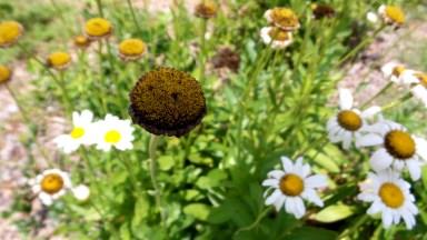 04 Sunflower