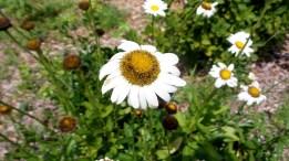 05 Sunflower