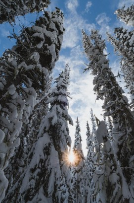 Late afternoon sun shines through the snowy trees in Manning Park