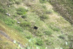 As I was going up on the ridge to check out Glacier Mine I spotted a sow and cub (black bears) munching on some berries! Here is the sow.
