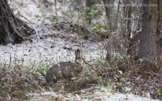 Snowshoe Hare 3