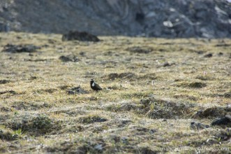 American Plover 1