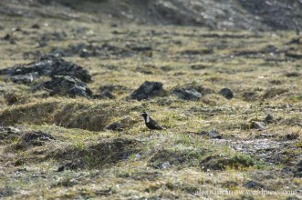 American Plover 2
