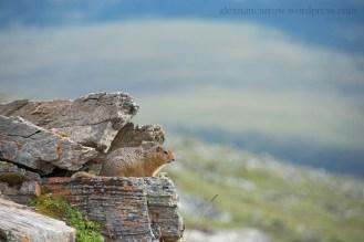 arctic-ground-squirrel-2