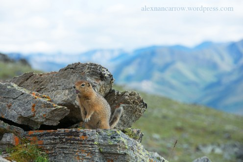 arctic-ground-squirrel-3