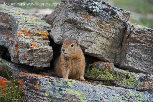 arctic-ground-squirrel-4