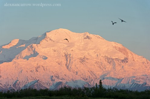 denali-ducks-2