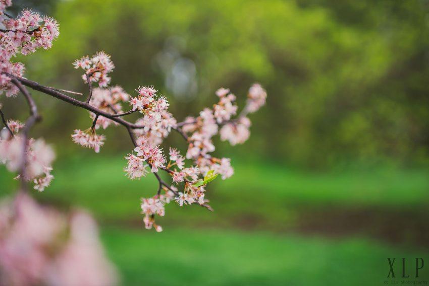 Arnold Arboretum Lilac Engagement Photos (22)