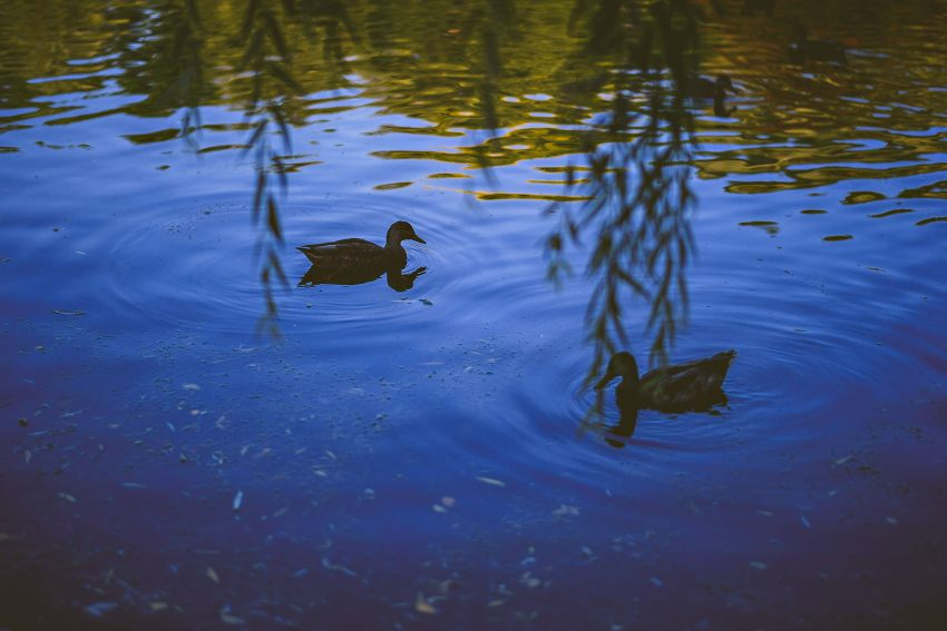 Boston Public Garden duck pond