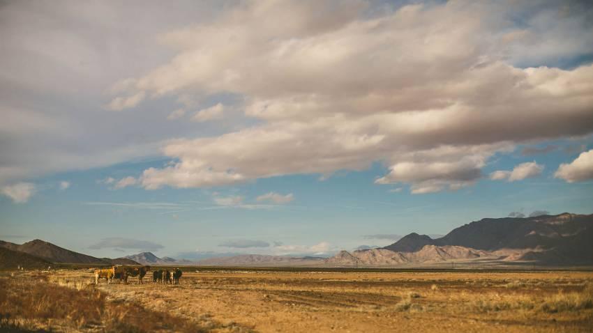 Cattle in Arizona desert