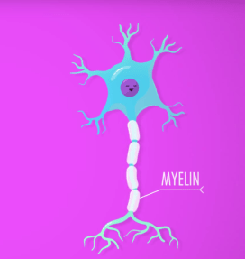 Adipose Tissue v Myelin
