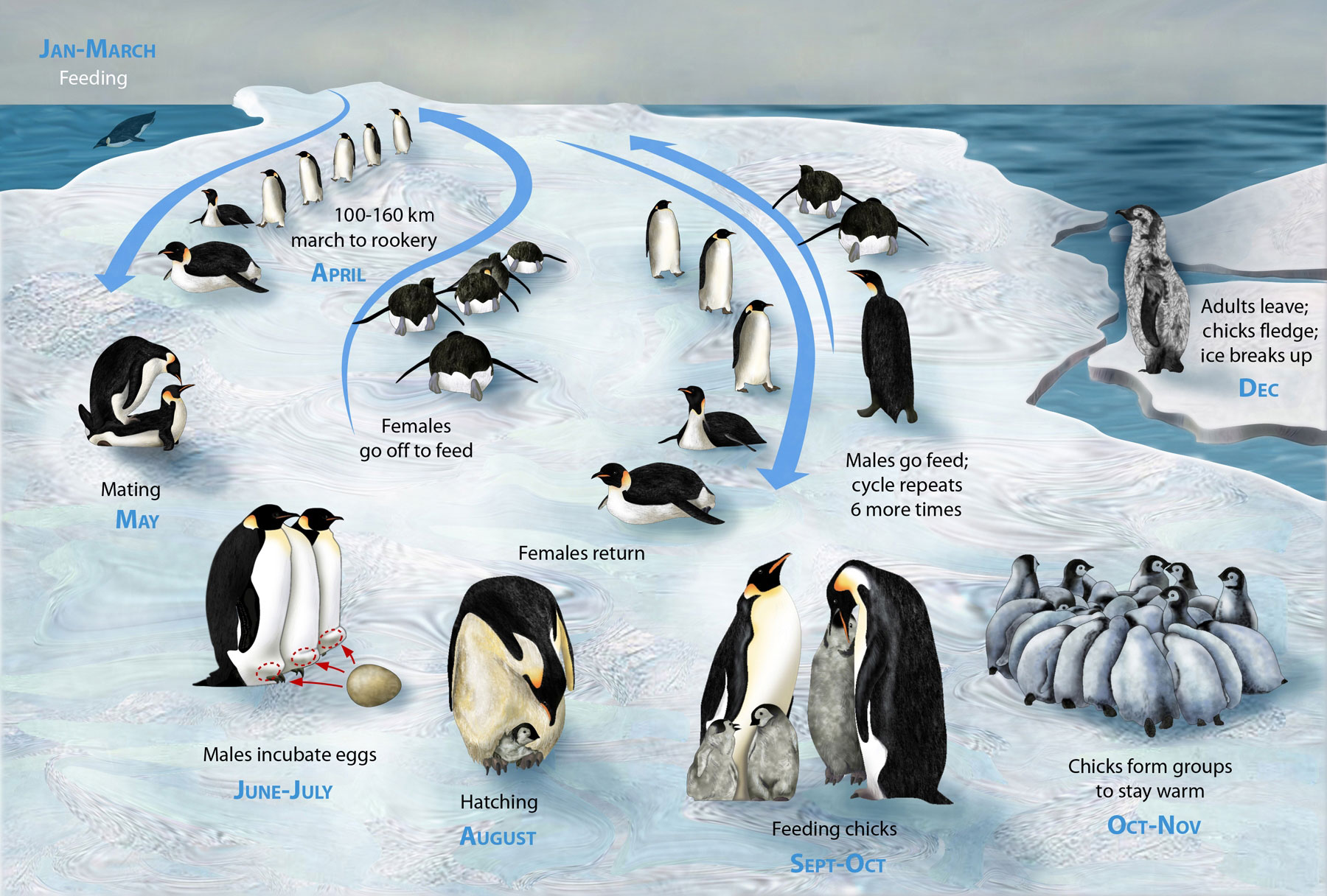 creaturi extraordinare 3 PENGUIN LIFECYCLE H