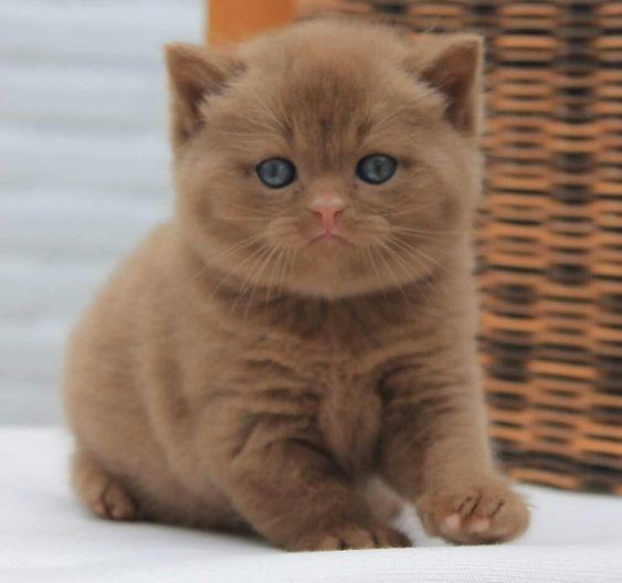 55 Jenis Jenis Kucing Imut Lucu Yang Ada Di Belahan Dunia Al Fikeer