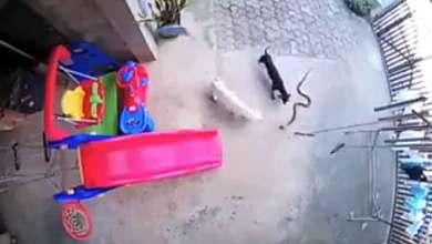 Photo of Dos perros pelean contra una cobra para salvar a una bebé