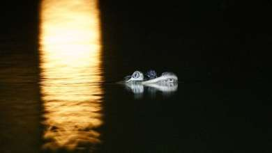 Photo of Aparece caimán en lago de Chicago; no se explican cómo llegó