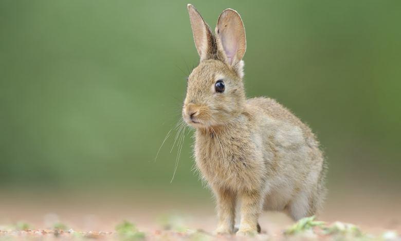 Photo of Declaran al conejo en peligro de extinción