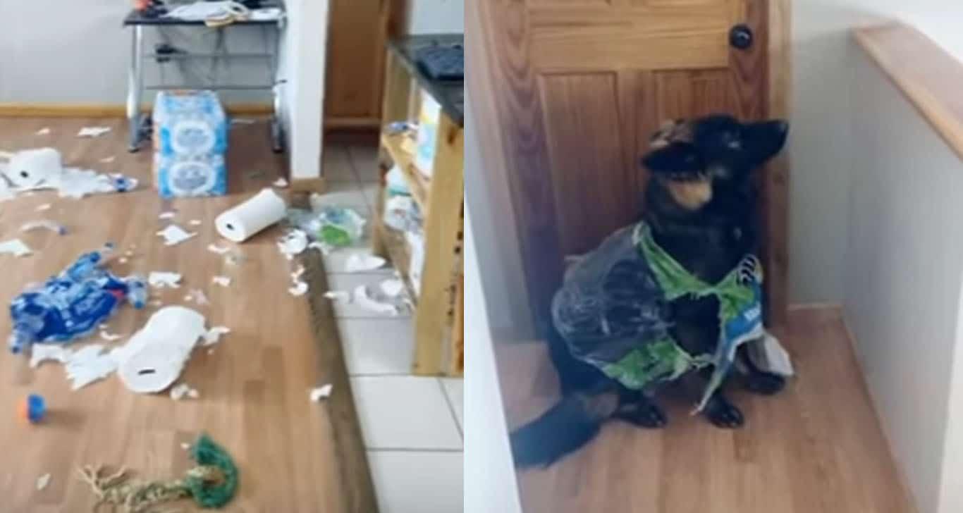 Perro destruye el papel higiénico acumulado para la cuarentena