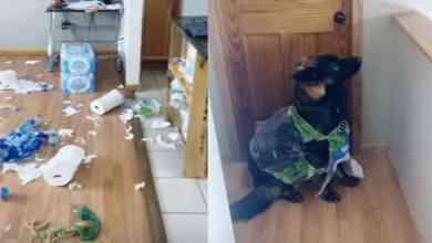 Photo of Perro destruye el papel higiénico acumulado para la cuarentena