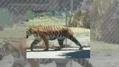 Photo of VIDEO: Tigre pasea por las calles y alarma a los ciudadanos