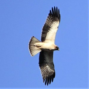 Greif-Vögel und andere Arten an der Algarve beobachten