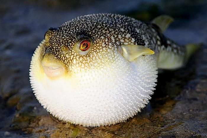 السمكة المنتفخة التي لا يجب تناولها