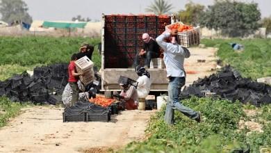 عمال يشتغلون في قطاع الزراعة - أرشيفية
