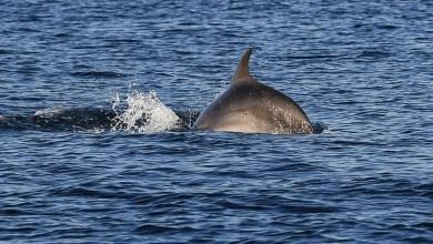 دولفين يسبح في مياه البوسفور- اف ب