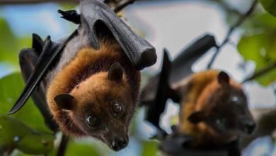 الخفافيش مصدر فيروس كورونا