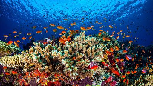 مرجان العقبة- البحر الأحمر