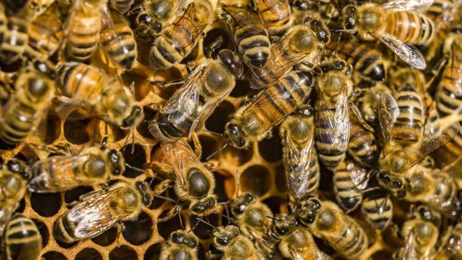 Photo of سرطان الثدي: هل يساعد سم نحل العسل في محاربة المرض؟