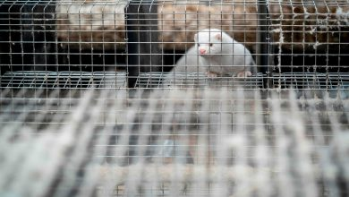 Photo of ظهور كورونا بشكل متحور لدى حيوانات المنك يثير حذرا وخوفا بين العلماء