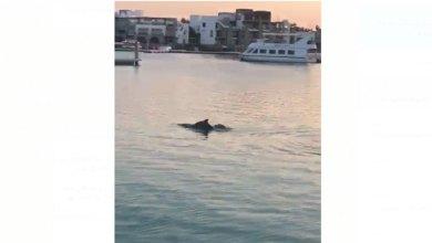 Photo of مجموعة من الدلافين في مرسى اليخوت – فيديو