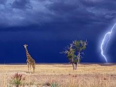 giraffe-1742236__180