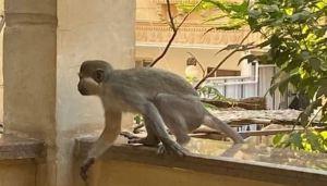 القرود تغزو حدائق الأهرام - قرد