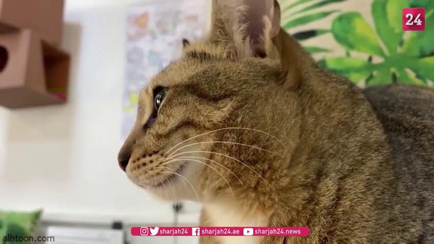 """في دبي .. شاهد: مقهى مخصص لـ""""القطط"""" - صحيفة هتون الدولية"""