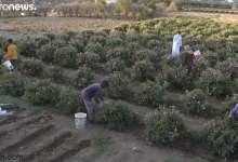 شاهد: جمال مزارع الورد في الطائف - صحيفة هتون الدولية