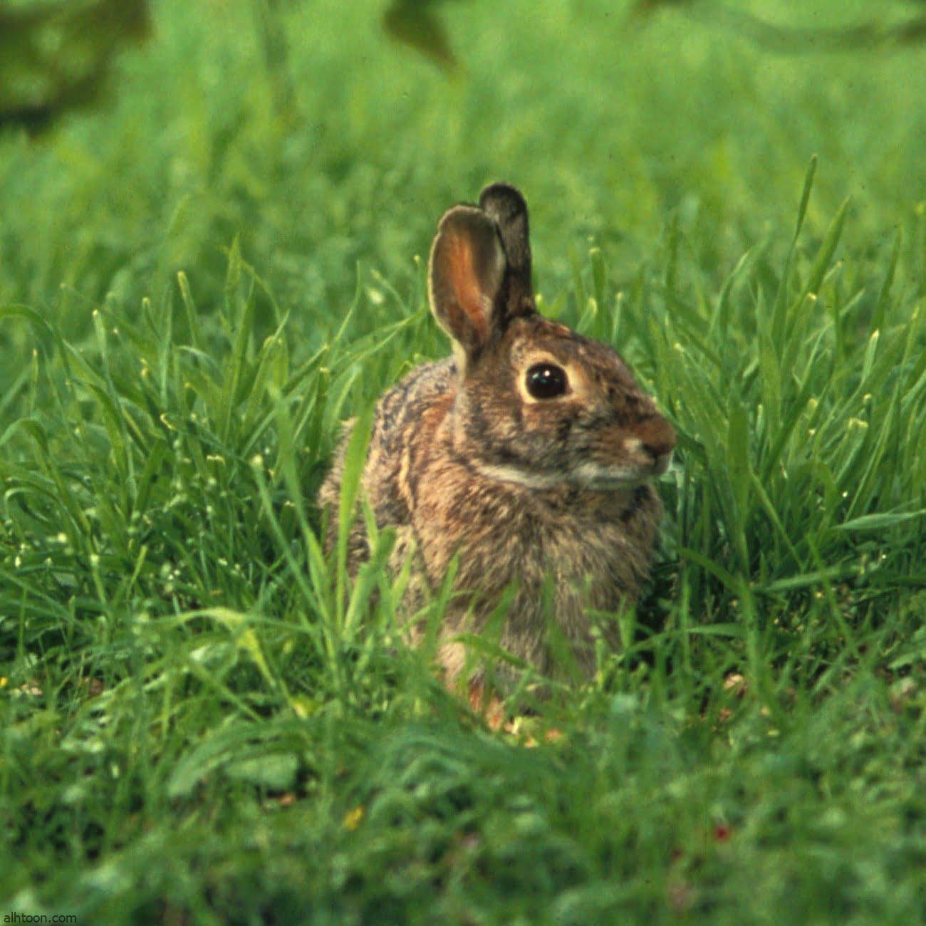 فيديو: هل شاهدت أرنب يسبح من قبل؟ - صحيفة هتون الدولية