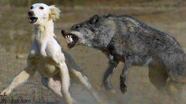 قصة ( الذئب والكلاب ) -