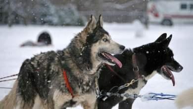 شاهد: ردة فعل كلب لفتاة قامت بمضايقته - صحيفة هتون الدولية