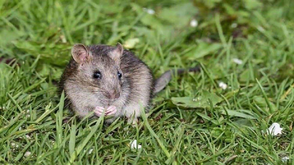 فيديو: جيش من الفئران يجتاح أستراليا - صحيفة هتون الدولية