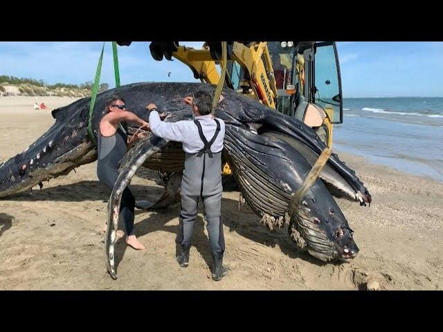 شاهد: حوت نافق على شواطئ فرنسا - صحيفة هتون الدولية