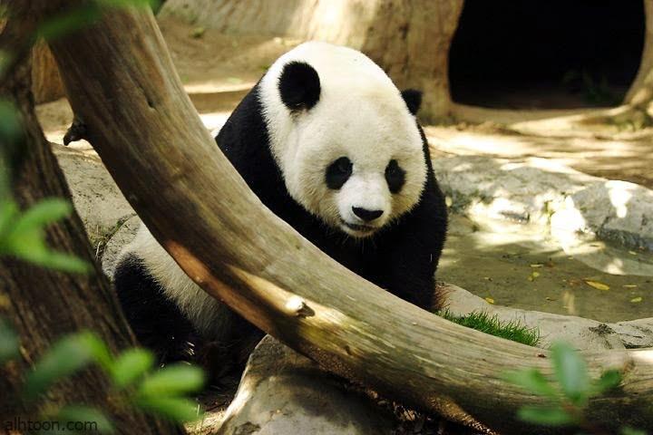 شاهد: دب الباندا تحاول ركوب حافلة - صحيفة هتون الدولية