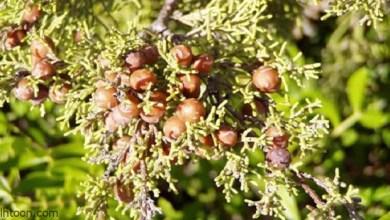 فوائد عشبة السندروس للبشرة