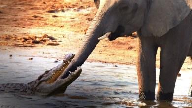 شاهد: تمساح يهاجم فيل ضخم - صحيفة هتون الدولية