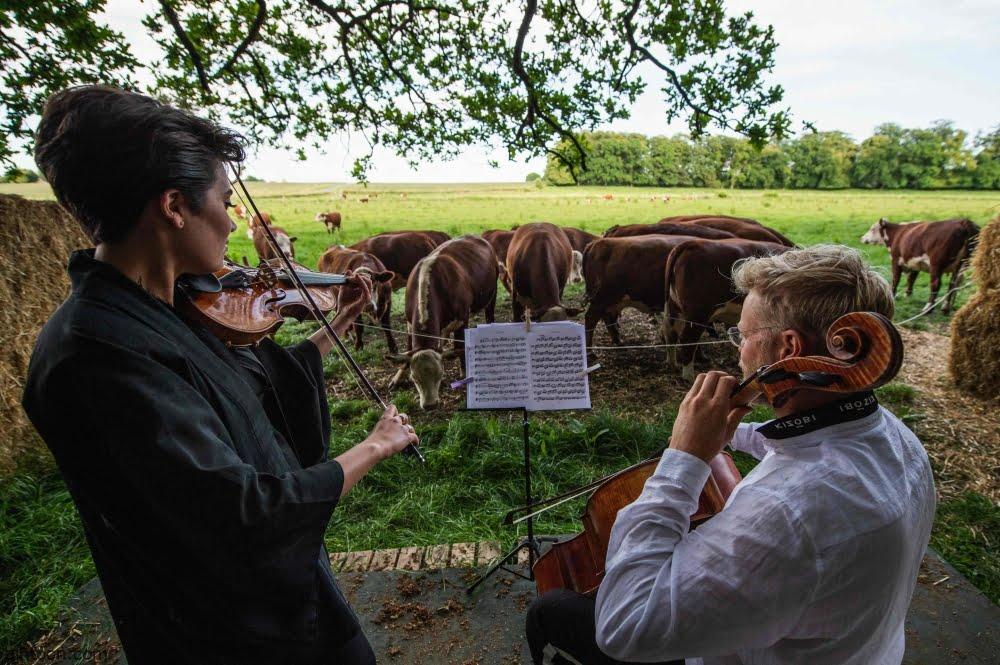فيديو: حفلة موسيقية للأبقار - صحيفة هتون الدولية
