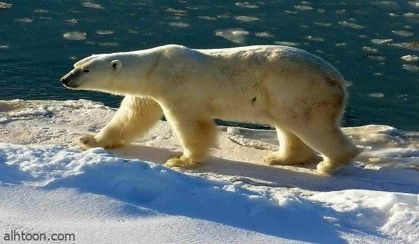 شاهد: دبة قطبية تستمتع بالثلج - صحيفة هتون الدولية
