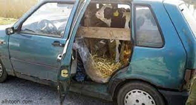 """مزارع بولندى ينقل """"عجل بقرى"""" فى سيارة ملاكى -صحيفة هتون الدولية"""